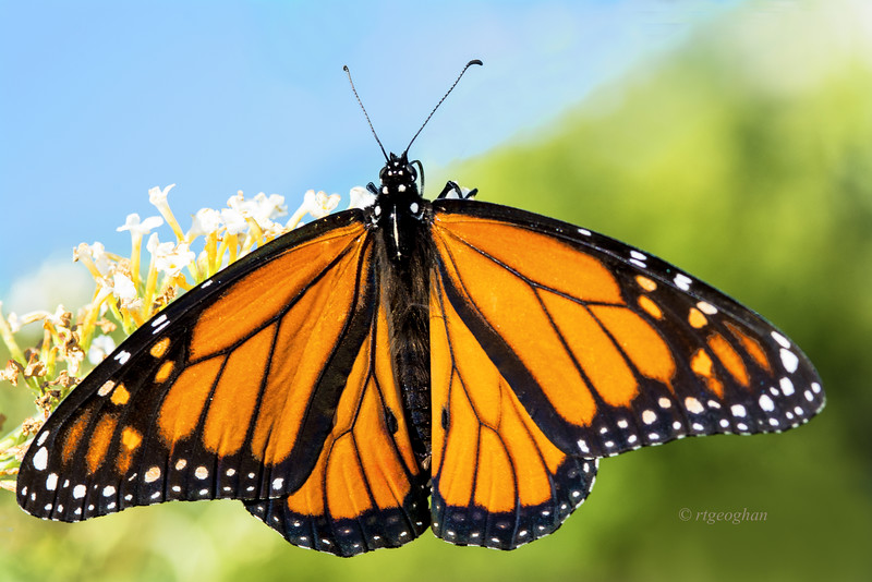Day 259: Monarch Butterfly - Sept 19.  Its the time of the year when the last generation of the summer Monarch butterflies begin their migratory flight south for the winter.  The number of Monarchs seen this year has declined quite a lot with more and more warnings being published about the dangers to the remaining population and the pleas for people to plant milkweed plants in their yards and public places. The Monarchs lay their eggs exclusively on the milkweed plants and then feed from them as they go through their development cycle.  Milkweeds plants are being destroyed by overdevelopment and pesticide use.  With this food, the fear is that the Monarch butterfly will become extinct.