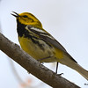 Black-throated Green Warbler May 15 2015