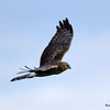 Northern Harrier May 21 2015