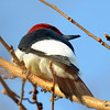 Red-headed Woodpecker May 4 2015