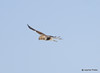 DSC_1753 Rough-legged Hawk Feb 26 2015