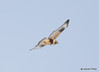 DSC_1744 Rough-legged Hawk Feb 26 2015