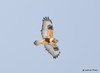 DSC_1743 Rough-legged Hawk Feb 26 2015