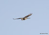 DSC_1752 Rough-legged Hawk Feb 26 2015