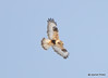 DSC_1755 Rough-legged Hawk Feb 26 2015