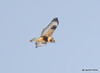 DSC_1750 Rough-legged Hawk Feb 26 2015