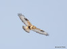 DSC_1742 Rough-legged Hawk Feb 26 2015