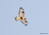 DSC_1749 Rough-legged Hawk Feb 26 2015