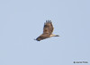 DSC_1746 Rough-legged Hawk Feb 26 2015