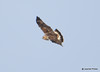 DSC_1747 Rough-legged Hawk Feb 26 2015