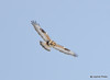 DSC_1754 Rough-legged Hawk Feb 26 2015