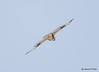 DSC_1745 Rough-legged Hawk Feb 26 2015