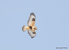 DSC_1751 Rough-legged Hawk Feb 26 2015