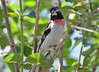 DSC_6364 Rose-breasted Grosbeak June 24 2015
