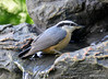DSC_6415 Red-breasted Nuthatch June 24 2015