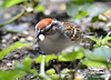 DSC_6377 Chipping Sparrow June 24 2015