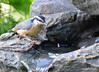 DSC_6408 Red-breasted Nuthatch June 24 2015