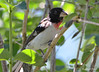 DSC_6366 Rose-breasted Grosbeak June 24 2015