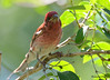 DSC_6070 Purple Finch June 14 2015