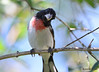 DSC_6372 Rose-breasted Grosbeak June 24 2015