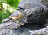 DSC_6407 Red-breasted Nuthatch June 24 2015