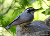 DSC_6421 Red-breasted Nuthatch June 24 2015