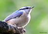 DSC_6423 Red-breasted Nuthatch June 24 2015