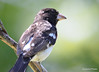 DSC_6361 Rose-breasted Grosbeak June 24 2015