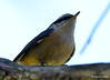 DSC_6336 Red-breasted Nuthatch June 24 2015