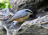 DSC_6413 Red-breasted Nuthatch June 24 2015