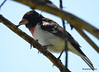 DSC_6355 Rose-breasted Grosbeak June 24 2015