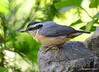 DSC_6422 Red-breasted Nuthatch June 24 2015