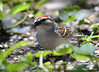 DSC_6376 Chipping Sparrow June 24 2015