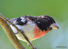 DSC_6357 Rose-breasted Grosbeak June 24 2015