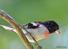 DSC_6359 Rose-breasted Grosbeak June 24 2015