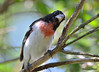 DSC_6369 Rose-breasted Grosbeak June 24 2015