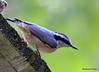 DSC_6425 Red-breasted Nuthatch June 24 2015