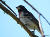 DSC_6354 Rose-breasted Grosbeak June 24 2015