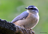 DSC_6424 Red-breasted Nuthatch June 24 2015