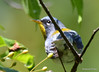 DSC_6218 Northern Parula June 19 2015