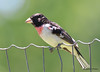 DSC_6374 Rose-breasted Grosbeak June 24 2015