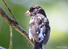 DSC_6362 Rose-breasted Grosbeak June 24 2015