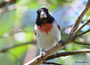 DSC_6370 Rose-breasted Grosbeak June 24 2015