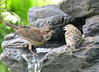DSC_6390 Purple Finch Pine Siskin June 24 2015