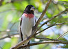 DSC_6368 Rose-breasted Grosbeak June 24 2015
