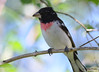 DSC_6371 Rose-breasted Grosbeak June 24 2015