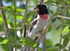 DSC_6367 Rose-breasted Grosbeak June 24 2015