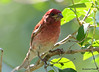 DSC_6071 Purple Finch June 14 2015