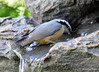 DSC_6414 Red-breasted Nuthatch June 24 2015
