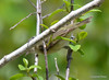 DSC_4769 Red-eyed Vireo May 18 2015